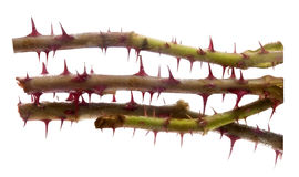 Thorns. Isolated on the white background Royalty Free Stock Image