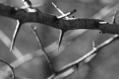 Thorns. On tree in back and white stock photo