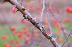 Thorns Royalty Free Stock Photo