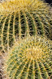 Thorns of Barrel Cactus Royalty Free Stock Photography