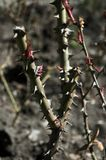 Thorns on the branches of a rose royalty free stock photo