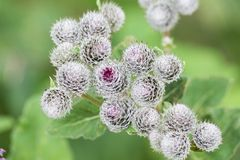 Thorns of Burdock on green blurred background Stock Photography
