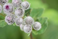 Thorns of Burdock on green blurred background Stock Image
