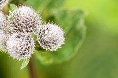 Thorns of Burdock on green blurred background with a shallow depth of field. Stock Images