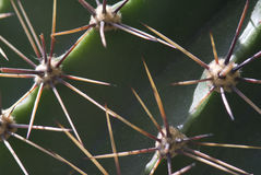Thorns cactus Royalty Free Stock Image