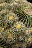 Thorns - Cactus Plant Royalty Free Stock Photo