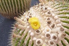 Echinocactus grusonii close up stock photos