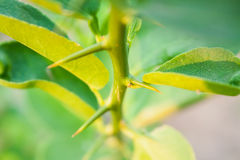 Thorns of Lime tree Stock Images
