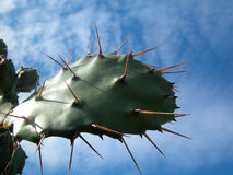Thorns. Plugs plant prickly or otherwise of succulent plant Royalty Free Stock Image