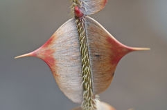 Thorns on rose branch Stock Image