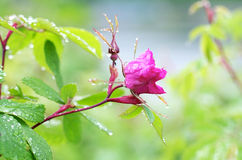 Thorns and Roses Stock Images
