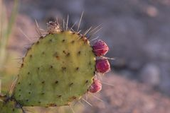 Thorns Spines And Prickles, Barbary Fig, Cactus, Nopal Stock Images