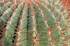 Thorns and spines very pungent a fat cactus Royalty Free Stock Photo