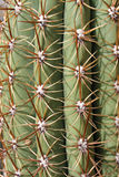 Thorns and spines very pungent a fat cactus Royalty Free Stock Images