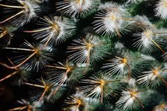 Thorns and spines very pungent. royalty free stock photo
