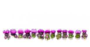 Thorns of Thistle with blooming pink flowers, lined up. Place for text. Concept-everything has two sides. Psychology of relationsh. Ips royalty free stock images