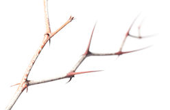 Thorns zigzag on Zizyphus twig Royalty Free Stock Image