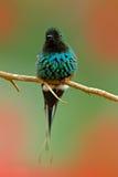 Thorntail verde, conversii de Discosura, La Paz Waterfall Garden, Costa Rica Colibrí con el fondo verde claro Escena de la fauna Fotografía de archivo