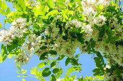Thorntree in bloei Stock Foto's