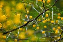 Thorny Acacia karoo Stock Image