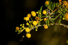 Thorny Acacia karoo with yellow flowers stock photos