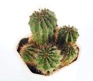 Thorny barrel cactus plant Royalty Free Stock Image