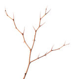 Thorny branch Royalty Free Stock Images