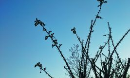 Thorny Branches Royalty Free Stock Image