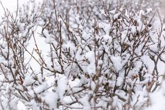 Thorny branches of trimmed bushes are covered with snow stock photo