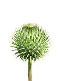 Thorny bud of thistle flower. This herbal in russian - chertopolokh royalty free stock photo