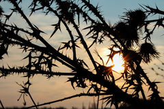 Thorny burdock flower silhouette on a winter sunset Royalty Free Stock Photography