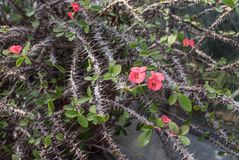 Thorny Bush with pink flowers. Tropical plant Royalty Free Stock Image