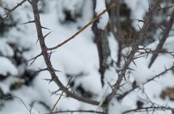 Thorny bush in snow. Thorny bush in winter forest Royalty Free Stock Image