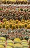 Thorny Cactus Royalty Free Stock Photos