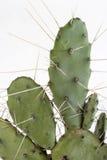 Thorny Cactus Royalty Free Stock Photos