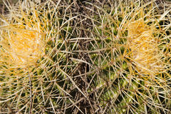 Thorny Cactus Background Royalty Free Stock Image
