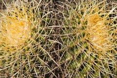Thorny Cactus Background Royalty Free Stock Image