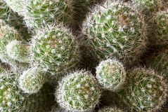 Thorny cactus Royalty Free Stock Image