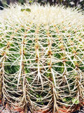 Thorny cactus plant Stock Images