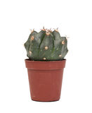 Thorny cactus plant isolated Royalty Free Stock Image