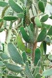 Thorny cactus tree Stock Image