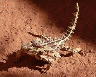 Thorny Devil Stock Image