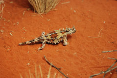 Thorny devil Stock Photos