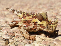 Thorny Devil royalty free stock image
