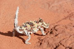 Thorny Devil Lizard looking at camera Stock Images