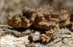 Thorny Devil Royalty Free Stock Photo