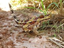 Thorny Devil, Outback, Australia. Full close up view of a thorny devil in the Australia outback Royalty Free Stock Images