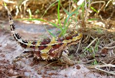 Thorny Devil, Outback, Australia. Full close up view of a thorny devil in the Australia outback Stock Image