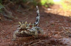 Thorny Devil, Outback, Australia Stock Photo