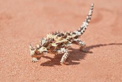 Thorny Devil with shadow on red outback sand. Thorny Devil (Moloch horridus) with shadow found in the outback, the red center of Australia Royalty Free Stock Image